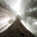 "Fototapet autoadeziv ""Pădure Sequoia"""