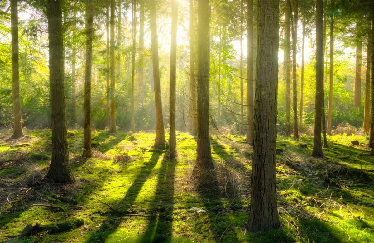 """Fototapet autoadeziv """"Luminişul din pădurea verde"""""""
